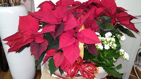Flor de pascua o cesta de pascua desde 7.50€