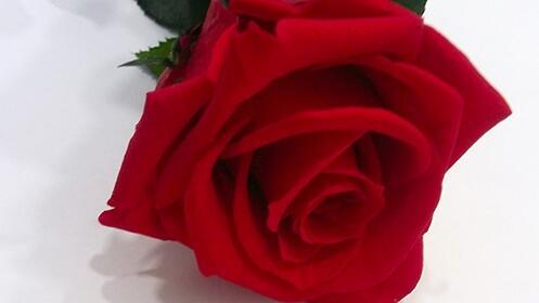 "Rosa ""eterna"" para San Valentín"
